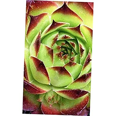 ABELYN Plant Zone 3 to 9 Ready Sunset Sempervivum - Hen and Chick Hardy Plant Succulent - EB294 : Garden & Outdoor