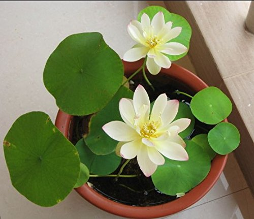 (Dwarf Lotus Plants for Aquatic Home Gardens 10 Seeds Mixed Colors)