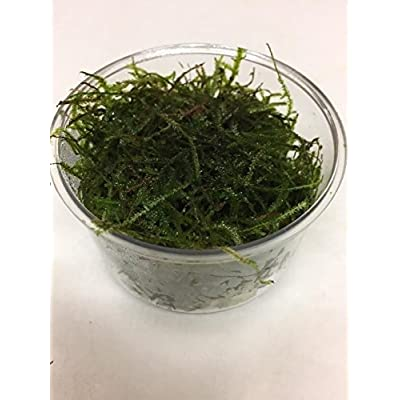 Live Fresh Water Aquatic Loose Plant Vesicularia dubyana in Cup L365 : Garden & Outdoor