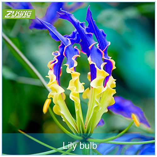 1 Pcs Blue Flame Lily Bulb Bonsai Exotic Flowering Plants Fast Growing Perennial Flower Garden Unique Beautiful Flowers (Growing Lily Bulbs)