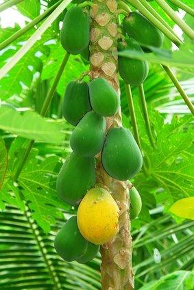 Papaya Melonenbaum süsse Früchte 10 Samen