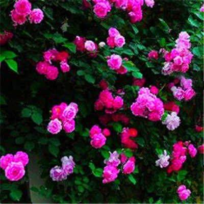 Pinkdose 100 Unidades Trepadoras Rosebush Rose Plantas Flor De China planta 24 Especies De Color Mezclado Familia Jardín Plantas Con Flores: 18: Amazon.es: Jardín