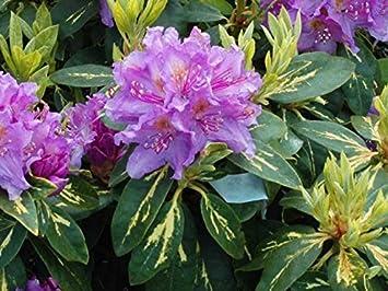 Rhododendron U0027Gold Shineu0027 Mature Plants 45cms Tall   Light Purple Flowers