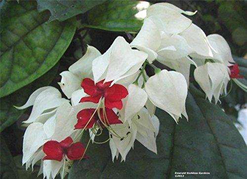 Bleeding Heart Vine WHITE Heirloom Flowering Semi Tropical Plant - Bleeding Plant Vine Heart