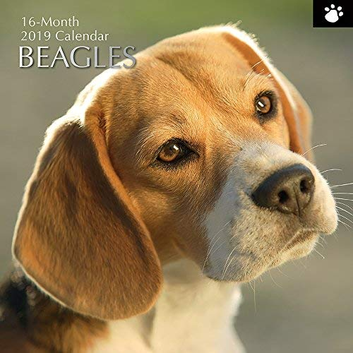 (2019 Wall Calendar - Beagle Calendar, 12 x 12 Inch Monthly View, 16-Month, Dogs and Pets Theme, Includes 180 Reminder)