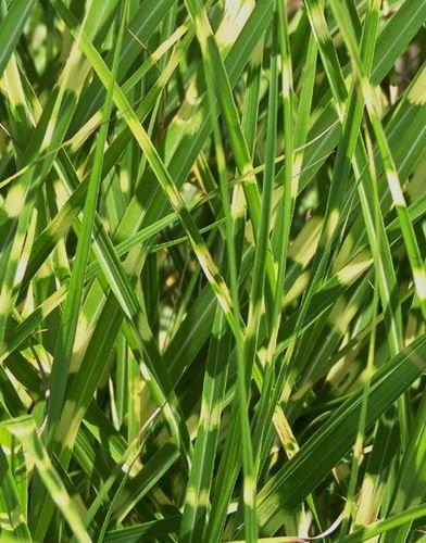 20 Fresh Seeds - Non GMO Zebra Grass Miscanthus sinensis 'Zebrinus'