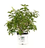 Limelight Hardy Hydrangea (Paniculata) Live Shrub, Green to Pink Flowers, 1 Gallon