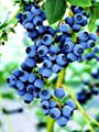 Blueberry Plant Seeds - Combination of Varieties for Best Yield
