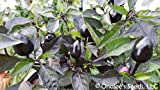 Pretty in Purple, HOT Pepper Seeds, Capsicum annuum Ornamental and edible! Organically Grown, Direct From Grower in USA.. (18+ Seeds)