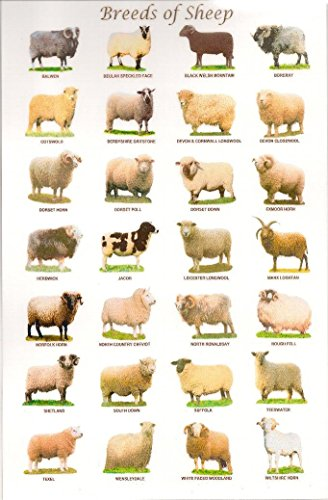 Breed Of Sheep - Breeds of sheep Poster 20 inch x 13 inch