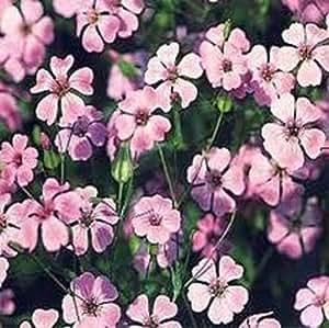 Saponaria Beauty Pink Nice Garden Flower 50 Seeds