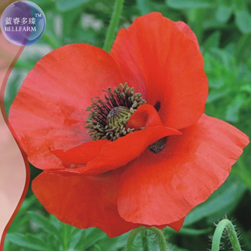 Hot Selling Corn Poppy Flower Coquelicot Flower Seeds, Original Pack, 120 Seeds, Large red Flowers Light up Your Garden IWSA040