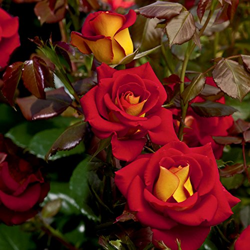 """Stargazer Perennials Ketchup and Mustard Rose Bush Reblooming Red and Yellow Rose Grown Organic 4"""" Potted - Own Root Easy To Grow price tips cheap"""