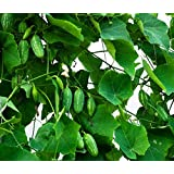 Plant House Live Kundru Ivy gourd Vegetable Vine Plant with Pot