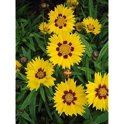 """SUNFIRE COREOPSIS """"Tickseed, Butter Daisy"""" ~NEW~ 20+ Perennial Seeds : Garden & Outdoor"""