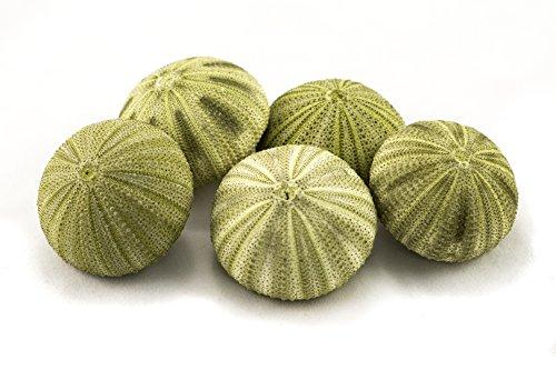 Sea Urchin   5 Green Sea Urchin Shell  5 Green Sea Urchin Shells for Craft and Decor   Plus Free Nautical Ebook by Joseph Rains