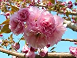 Kwanzan Flowering Cherry Tree 2 Plants