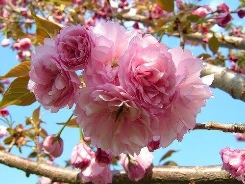 (Kwanzan Flowering Cherry Tree 2 Plants)