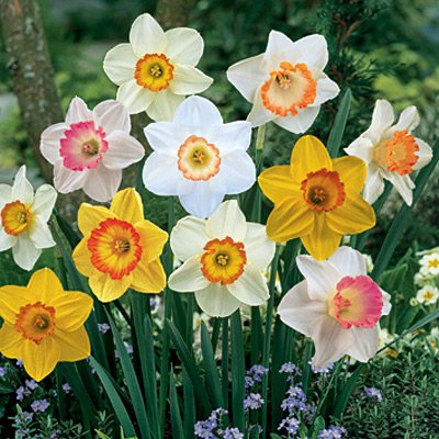 Large Cupped Daffodil Bulbs Sunshine Mix for sale  Delivered anywhere in USA
