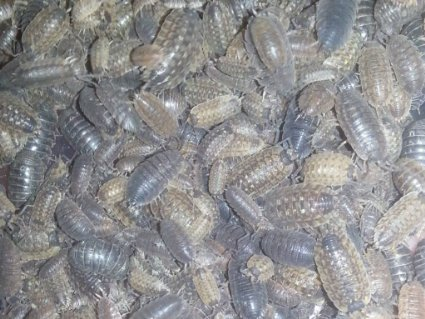 Fast Producing Roly Polys by Pocket Pets (15 Rolies)