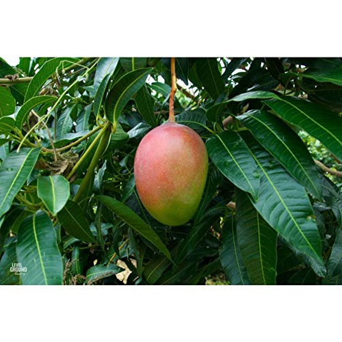 Mango Tree 36 Inch Height in 3 Gallon Pot #BS1 by iniloplant (Image #1)