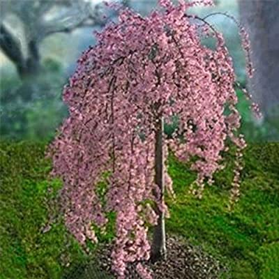 HsgbvictS Cherry Tree Seed Pink Fountain Weeping Cherry Tree Seeds Garden Yard Dwarf Tree Plants - 20Pcs