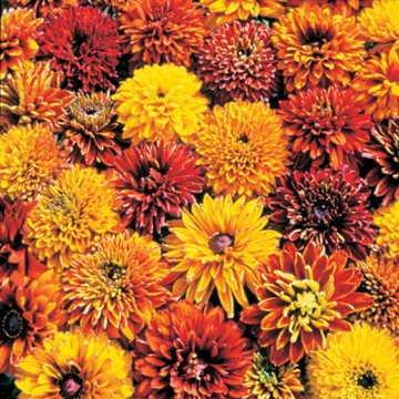 Park Seed Cherokee Sunset Gloriosa Daisy Seeds