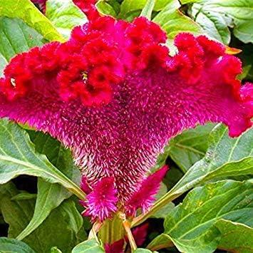 Potseed 100 PC/Bolso Chino Colorido Pteris Pinnadas Cockscomb (Celosia spicata) SeedsFlower Plantas en macetas para DIY y jardín 3: Amazon.es: Jardín