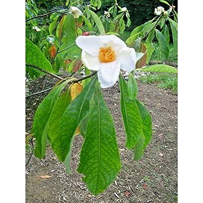 25 Franklin Tree Seeds #RDR02 : Garden & Outdoor