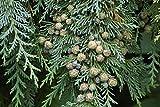 HOT - Chamaecyparis lawsoniana Blue Lawson Cypress Seeds