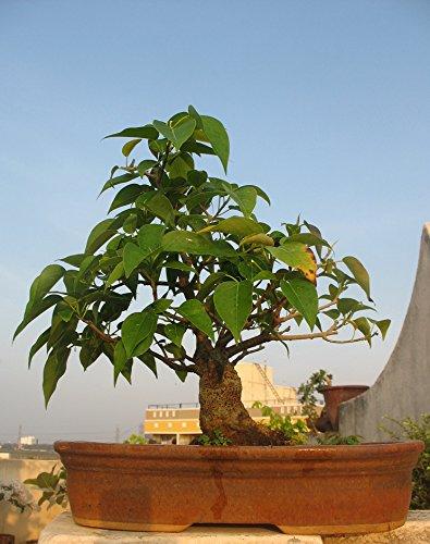 20-bodhi-tree-ficus-religiosa-bonsai-tree-seeds-fresh-rare-bonsai-tree-seeds