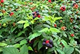Raspberry Plants (Mysore/Black Rasp.) Includes Four (4) Plants