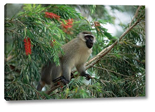 Black Faced Vervet Monkey - Black-Faced Vervet Monkey in Tree, East Africa by Konrad Wothe - 13