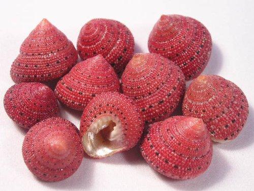 Hinterland Trading Strawberry Top Sea Shell 10 Pack. Extroidinary Rare Find Seashells