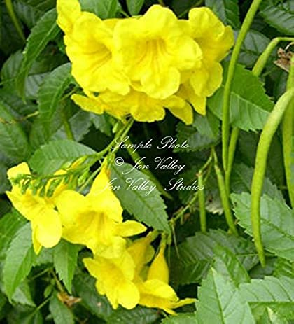 Amazon tecoma stans 20 seeds yellow bells tropical seeds small tecoma stans 20 seeds yellow bells tropical seeds small evergreen stunning flower potted or outdoor standard mightylinksfo