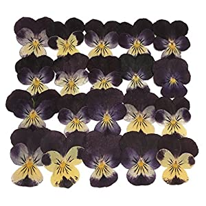 Silver J Pansypressed Flower Petals, Floral Art Dried Flowers, 24 Pieces, Dark Purple Pansy 112