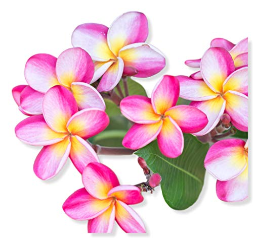 Pink Plumeria Rooted Plant - not cuttings. Fragrant Pink Rainbow - 12-14