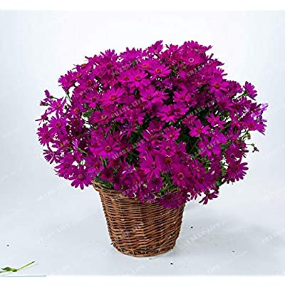 Kasuki 100PCS Florists Cineraria Bonsai 9 Kind Different Bonsai Flowers Pericallis hybrida Bonsai DIY Home and Garden Decor - (Color: 3): Garden & Outdoor