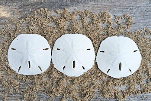 Sand Dollar | Real Sand Dollars 2 1/2