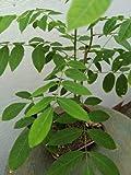 SmartMe Live Plant - Japanese Wisteria Bonsai Tree