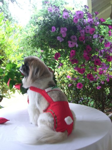 Joybies Red Festive Christmas Piddle Pants(tm) for XXX Small Male Dog (Measuring 7 -9   from Collar to Base of Tail)