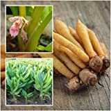 Fresh Rhizome Boesenbergia rotunda Fingerroot Chinese Ginger Heirloom Herb 1/2lb