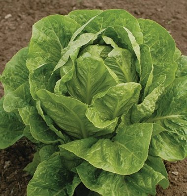 David's Garden Seeds Lettuce Jericho D349 (Green) 500 Organic Seeds