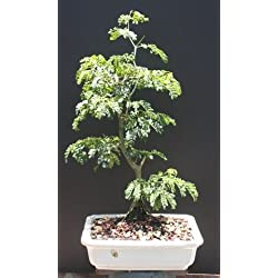 Brazilian Raintree Bonsai Tree by Sheryls Shop