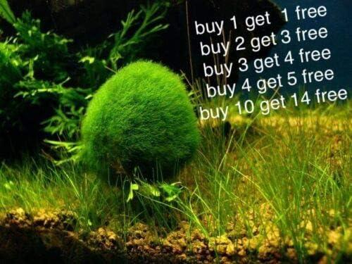 Marimo Moss Balls 0.5 inch Cladophora Live Plant Aquarium in USA