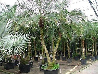 (Tropical Palm Phoenix Roebelinii 5 Seeds~Pygmy Miniature Date palm Tree~roebelenii )