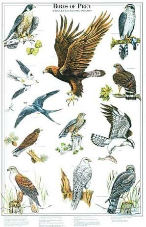 Amazon Com Birds Of Prey Poster And Identification Chart Vol 2 Eagles And Hawks Artist Karen Pidgeon Posters Prints