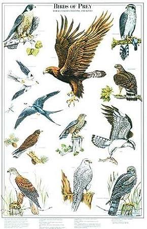 Amazon Com Birds Of Prey Poster And Identification Chart Vol 2 Eagles And Hawks Artist Karen Pidgeon Posters Prints