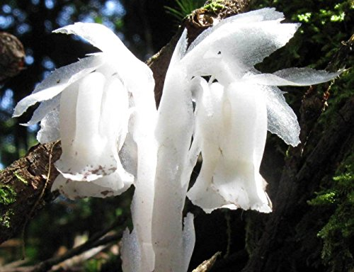 Monotropa uniflora | Ghost Plant | Indian Pipe | Corpse-plant | 100_Seeds (Corpse Plant)