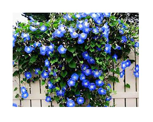 250 Heavenly Blue Morning Glory Blooming Vine Seeds - Wonderful Climbing Heirloom Vine - Morning Glory Non GMO and Neonicotinoid -